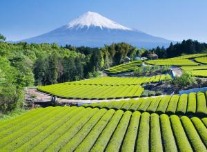 JAPAN_GREEN-TEA-FIELDS
