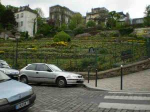 Montemartre szőlő