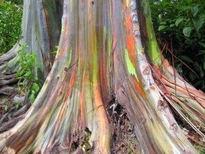 szivárványfa